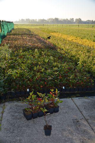 Aronia prunifolia 'Nero'
