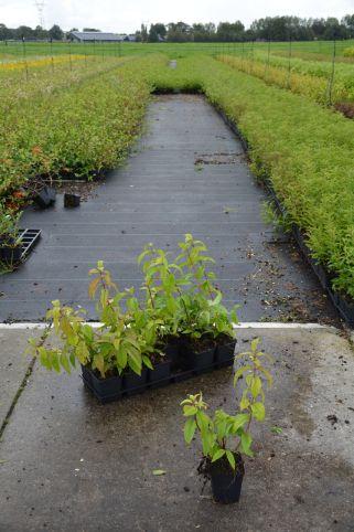 Deutzia hyb. Strawberry Fields