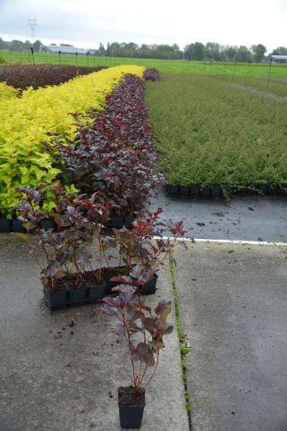 Physocarpus opul. Andre