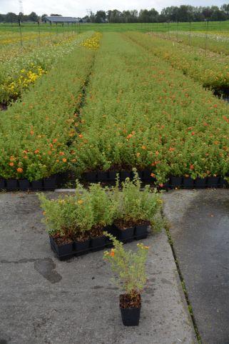 Potentilla frut. Hopleys Orange